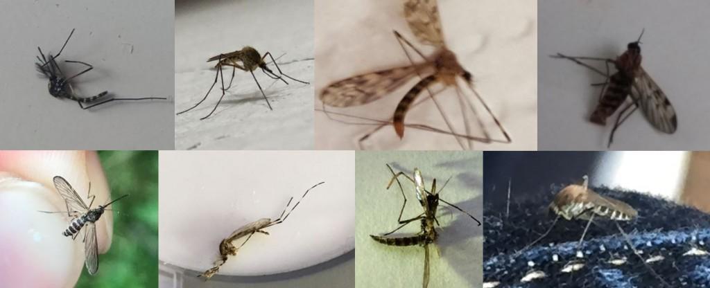 Ce ne sont pas des moustiques tigres
