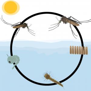 prolifération des moustiques: évolution